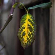 leaf yo
